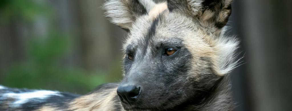 News & prioslav.ru: Исчезнувшие животные древнего мира - Волкоподобная собака из Южной Африки