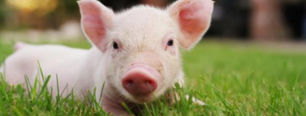 News @ prioslav.ru: Любопытные факты о свиньях