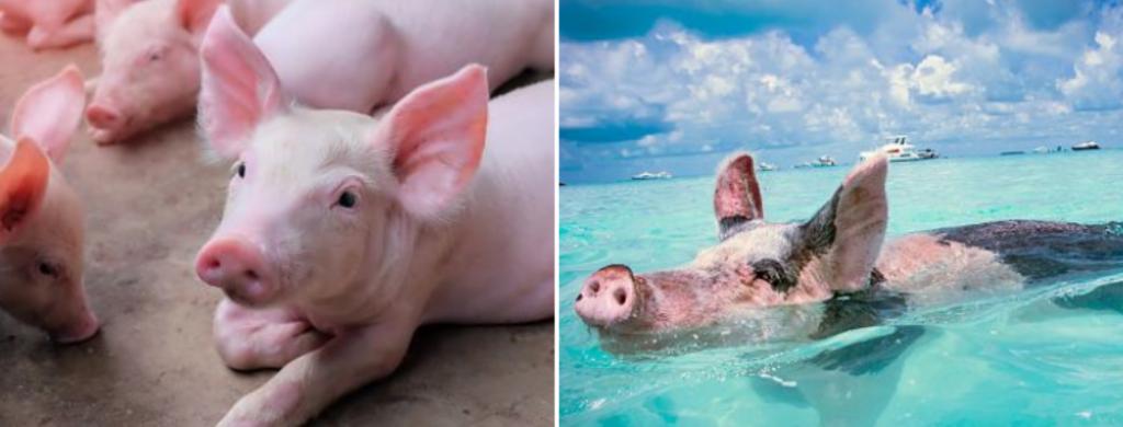 News @ prioslav.ru: Почему свиньи так любят грязь?