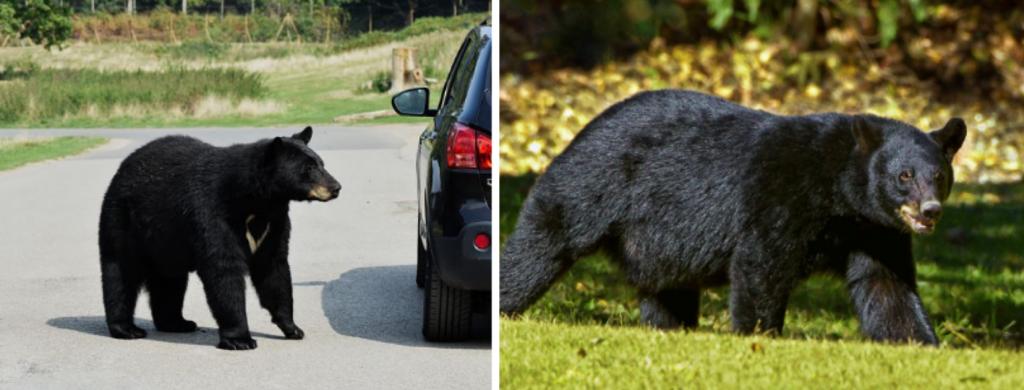 News @ prioslav.ru: Черные медведи являются одним из крупнейших хищников, обитающих в Северной Америке, Аляске и Дальнем Востоке России, но большинство их рациона состоит из растений