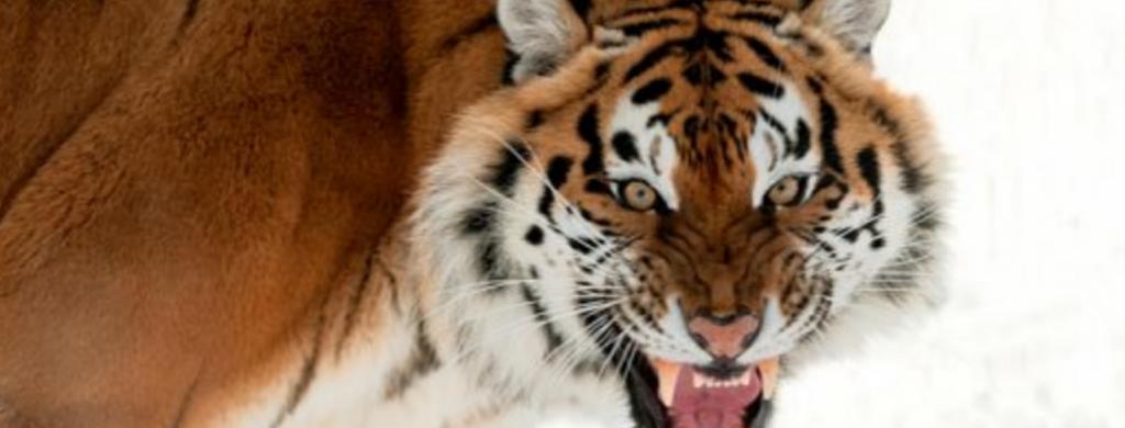 News @ prioslav.ru: Сибирские тигры - Самая большая угроза для сибирского тигра - браконьерство и потеря среды обитания