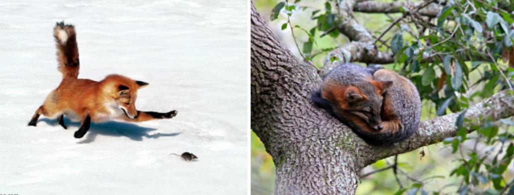 News @ prioslav.ru: 20 интересных фактов о лисах - лисы могут слышать низкочастотные звуки и грызунов, копающихся под землей / Серые лисы, которые живут в Северной Америке, способны лазить по деревьям!